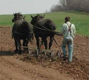 Draft Horse Plowing